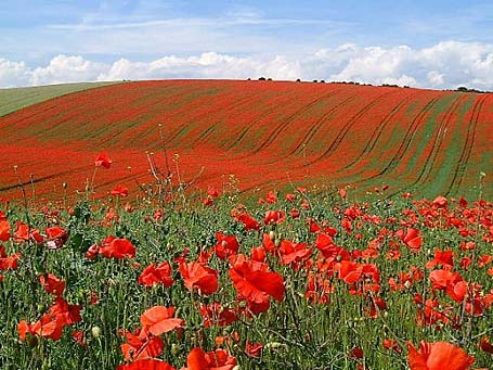 poppy-fields